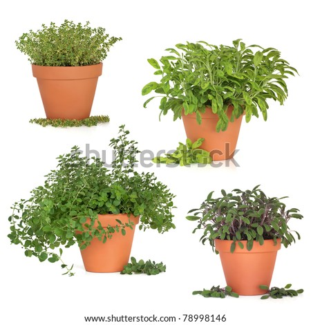 Thyme, oregano, purple and variegated sage herb growing in terracotta pots with leaf sprigs, isolated over white background.