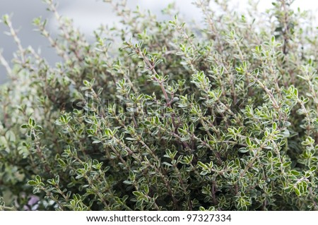 thyme silver queen growing