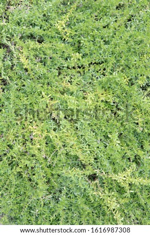 Thyme texture. Top view fresh green leaves of this aromatic plant