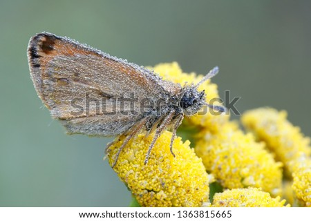 Thymelicus lineola, known as the Essex skipper butterfly, resting on Tansy, Tanacetum vulgare