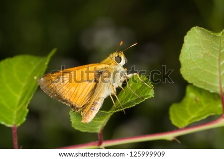 Thymelicus sylvestris / small skipper butterfly