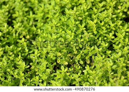 Thymus pulegioides (common names broad-leaved thyme, lemon thyme), species of flowering plant in the family Lamiaceae   Photo stock ©