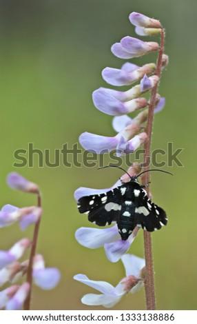 Thyris moth on Carolina vetch (Vicia Carolinians)
