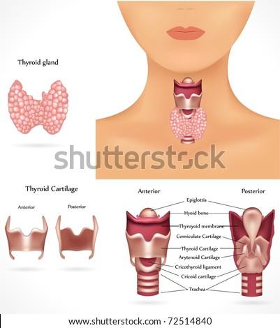 Thyroid gland, epiglottis, trachea. Detailed anatomy.