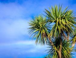 Ti kouka â?? New Zealand cabbage palm tree, landscape with a blue sky