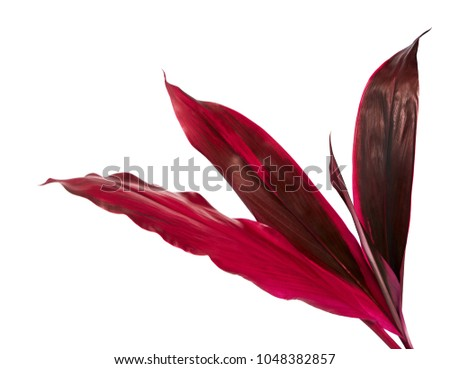 Ti plant or Cordyline fruticosa leaves, Colorful foliage, Exotic tropical leaf, isolated on white background with clipping path