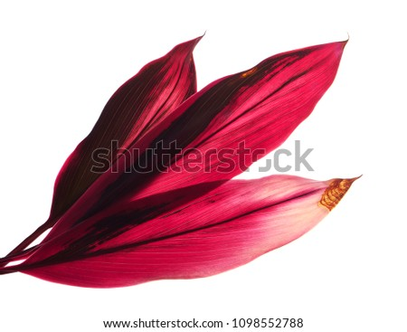 Ti plant or Cordyline fruticosa leaves, Colorful foliage, Exotic tropical leaf, isolated on white background with clipping path                            #1098552788