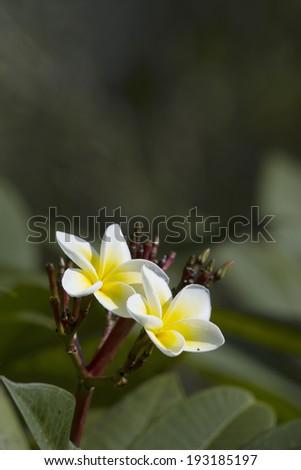Tiare Flower in Nepal specie Gardenia taitensis