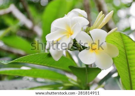 Tiare flowers-Tahitian Gardenia-Gardenia Taitensis showing their white color among the green leaves of the plant.s foliage. Lonnoc Beach-Espiritu Santo Island-Vanuatu.