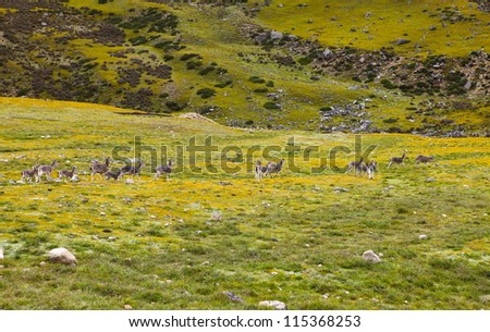 Tibetan gazelles running in the summer of China
