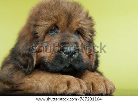 Tibetan mastiff on black background Images and Stock Photos