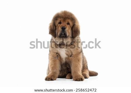 Tibetan mastiff puppy on white background #258652472