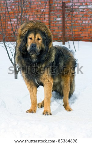 Tibetan Mastiff stands in snow against brick wall