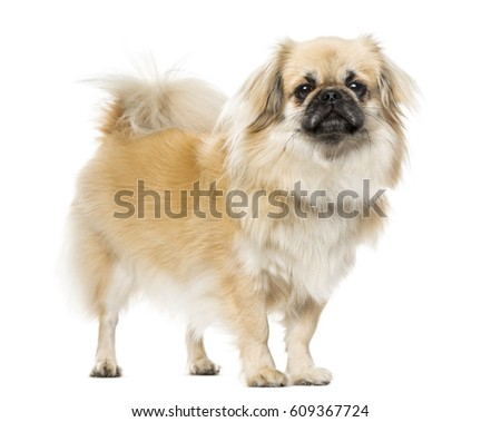Tibetan Spaniel standing, isolated on white, 2 years old #609367724