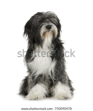 Tibetan Terrier (6 years) in front of a white background #750090478
