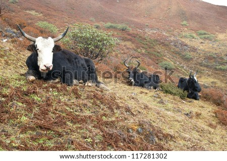 Tibetan yaks on the grass field in the mountains