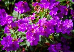 Tibouchina, is a Neotropical flowering plant genus in Melastomataceae. Vivid purple flowers, Full frame background. Members of this genus are known as glory bushes, glory trees or princess flowers.