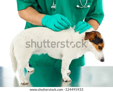 tick and flea prevention for a purebred jack russell dog