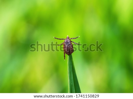 Tick brown sits on green blade of grass stalk in spring forest. Dermacentor marginatus or Ornate sheep tick crawling on green leaf close up Stock photo ©