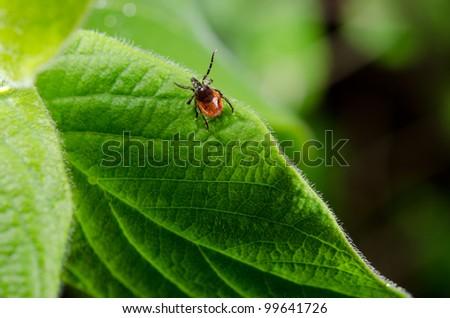tick, fresh foliage in spring