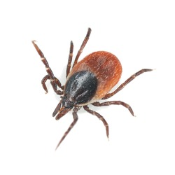 Tick isolated on white background, extreme close-up