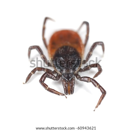 Tick isolated on white background. Extreme close-up with high magnification. Focus on the mouthparts. This animal is a disease carrier of TBE and borrelia.