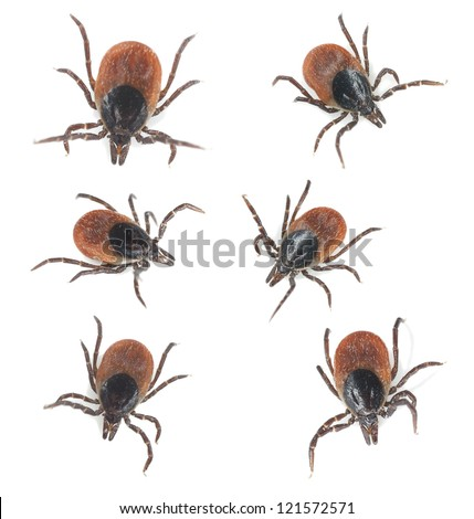Tick Ixodes ricinus collection isolated on white background