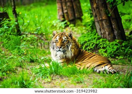 Tiger #319423982