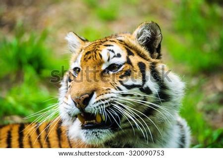 Tiger #320090753