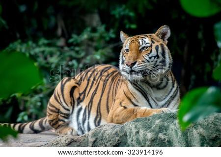 Tiger #323914196