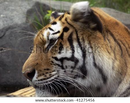 tiger #41275456