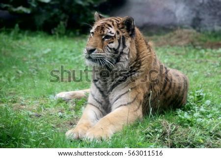 Tiger #563011516