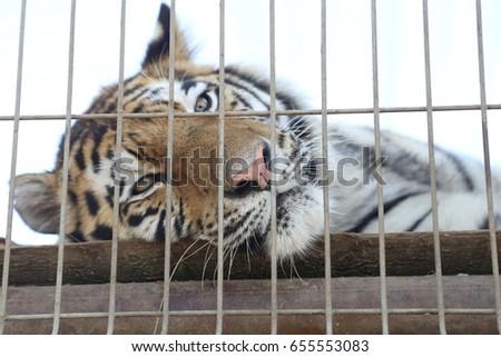 tiger #655553083
