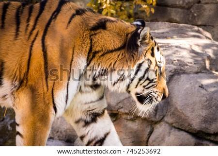 Tiger #745253692
