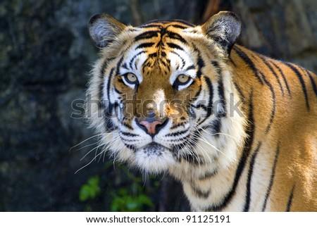Tiger  #91125191