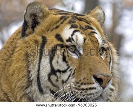 tiger #96903025