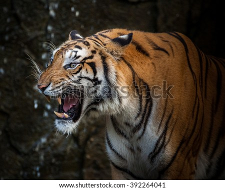 tiger action #392264041