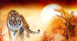 Tiger and fantasy sunset in jungles with palm trees. Exotic banner backround and panthera tigris. Spectacular warm sun light, dramatic red cloudy sky. Portrait of pride animal walking forward.
