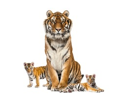 Tiger and his cubs, isolated on white