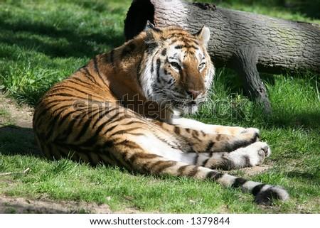 Tiger at the zoo #1379844