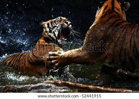 Tiger attack to other tiger