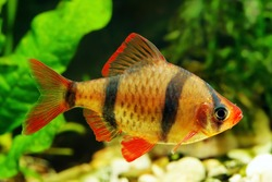 Tiger barb or Sumatra barb fish