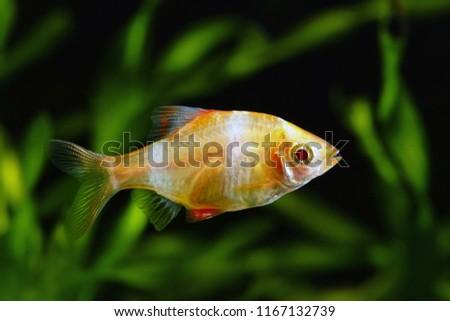 Tiger barb or Sumatra barb glofish (Puntius tetrazona) #1167132739