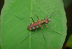 tiger beetle body view