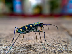 Tiger beetle (Cicindelinae)  is a stunning insect, with distinct markings and brilliant colors.  walking quickly, eating small insects and difficult to approach to photograph these insects..