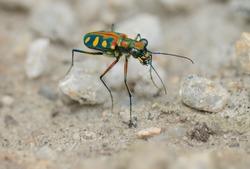 Tiger beetle - Cosmodela aurulenta on ground close up