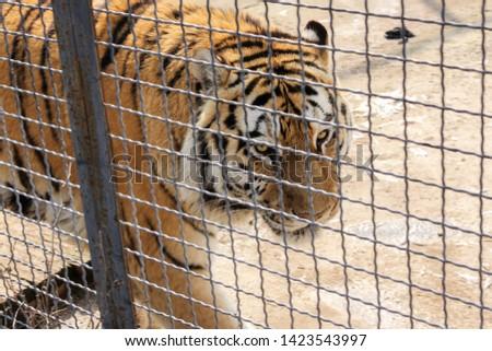 Tiger behind bars. Predators of the Belogorsk Safari Taigan Park. #1423543997