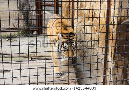 Tiger behind bars. Predators of the Belogorsk Safari Taigan Park. #1423544003