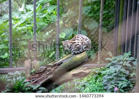 Tiger cat , Oncilla, Sleeping on a log #1460773394