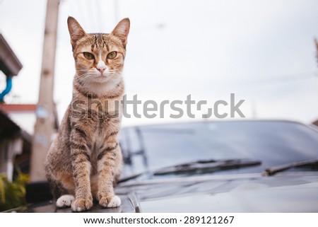 Tiger Cat sitting on car hood and rains drops on at rainy season,focused cat face.Vintage tone